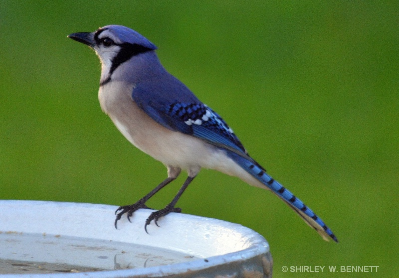 blue jay on bird bath