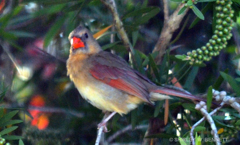 FEMALE CARDINAL IN BOTTLEBRUSH TREE