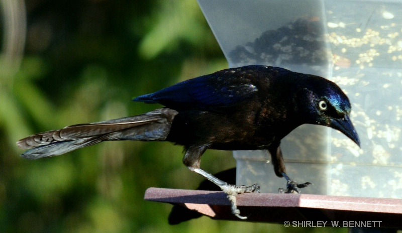 BLACK BIRD ON FEEDER