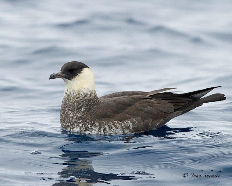 Pomarine Skua - May 21st, 2011