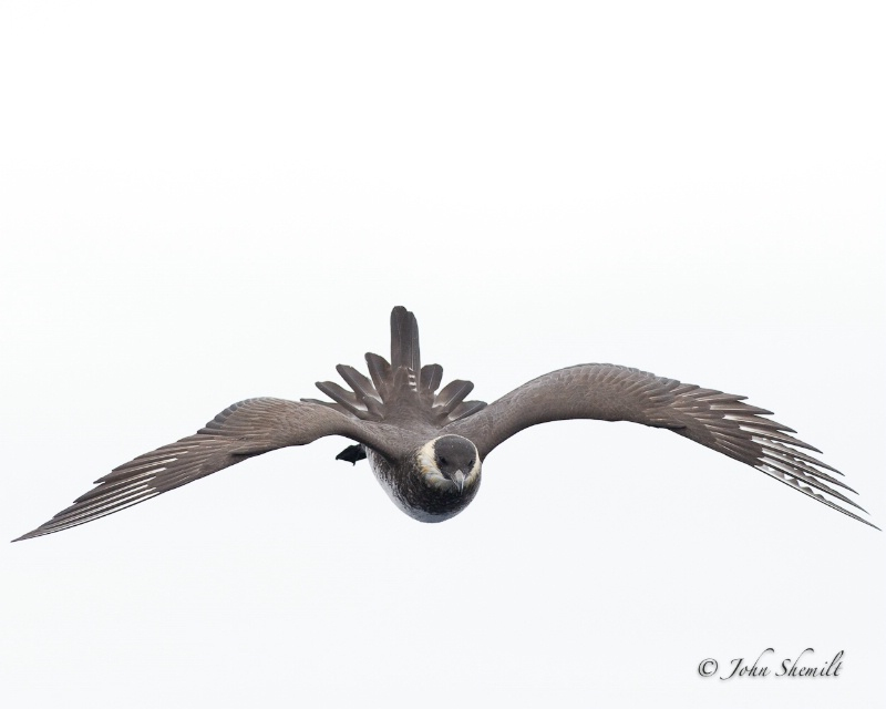 Pomarine Skua - May 21st 2011
