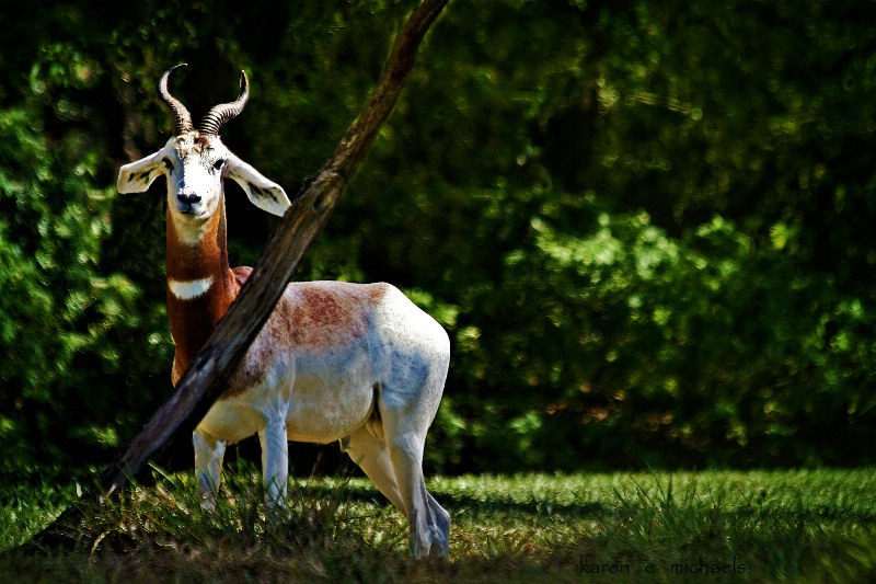 alert gazelle