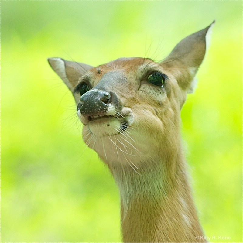 Deer with Overbite