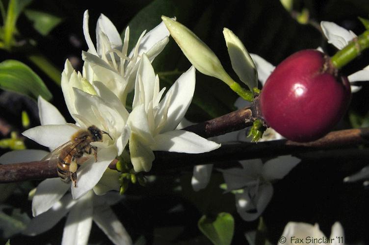 Bee on Coffee 4
