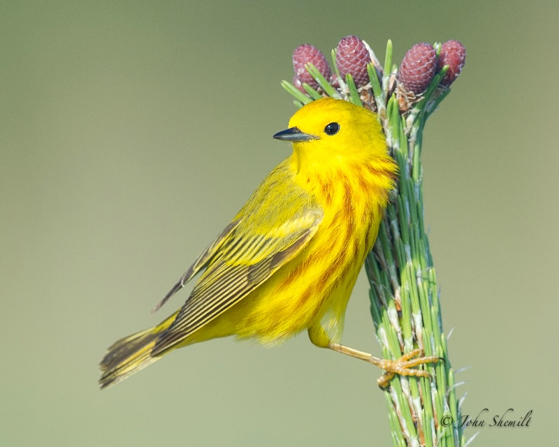 Yellow Warbler - June 19th, 2011