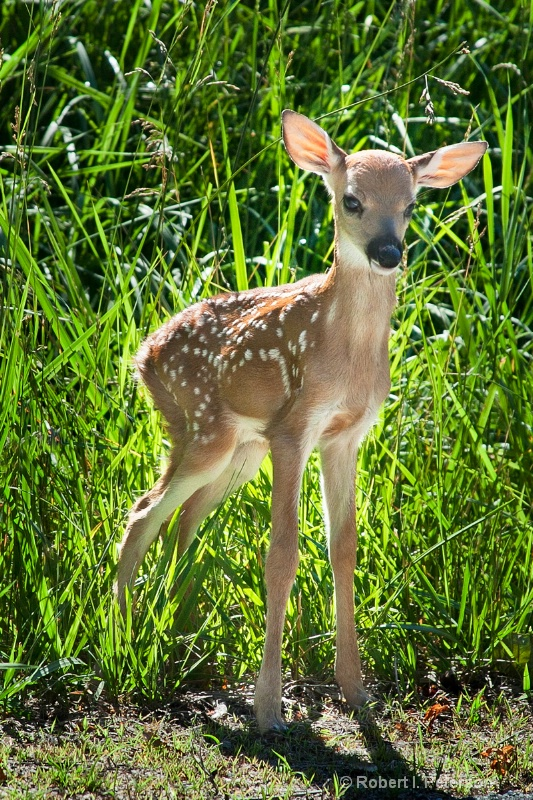 w...fawn at roadside