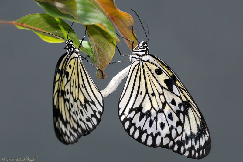Rice Paper Butterfly Pairing