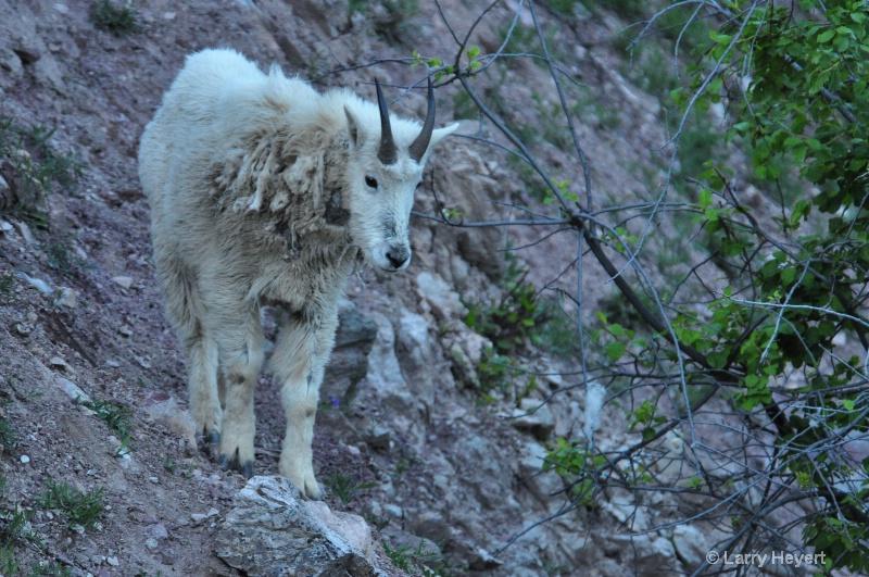 Glacier National Park- Mountain Goat