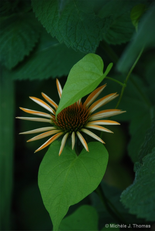 Cone Flower Peeking Out From The Dark !