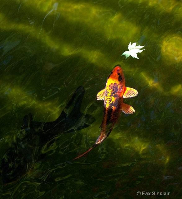 Koi with Leaf