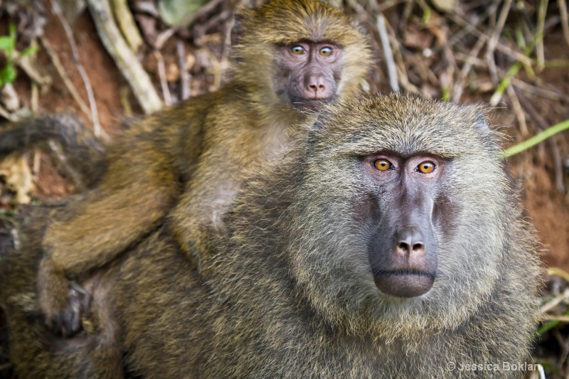 Baboon Mother with Infant