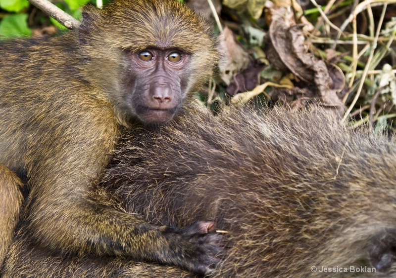 Infant Baboon with Mother