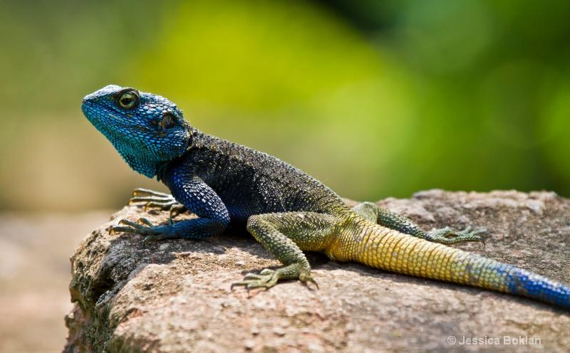 Blue-headed Agoma