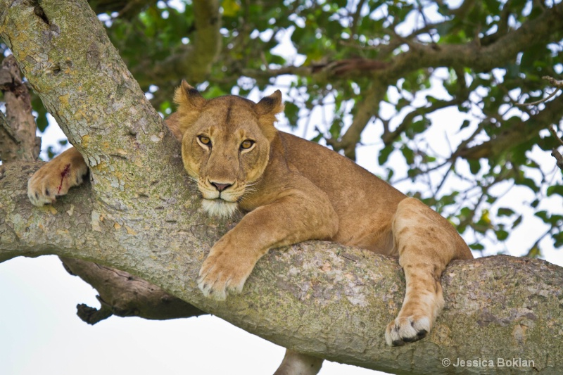 Tree Climbing Female Lion with Wounded Foot