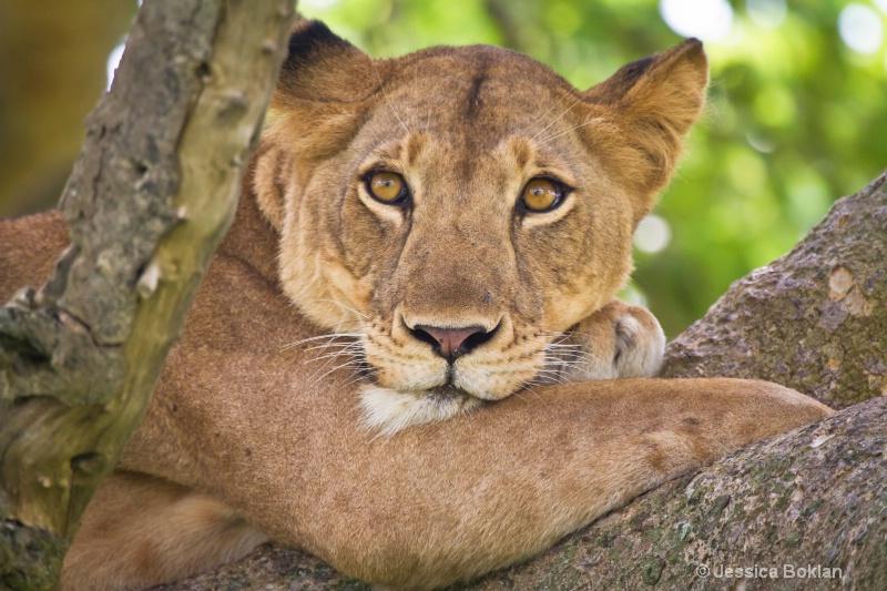 Tree Climbing Female Lion