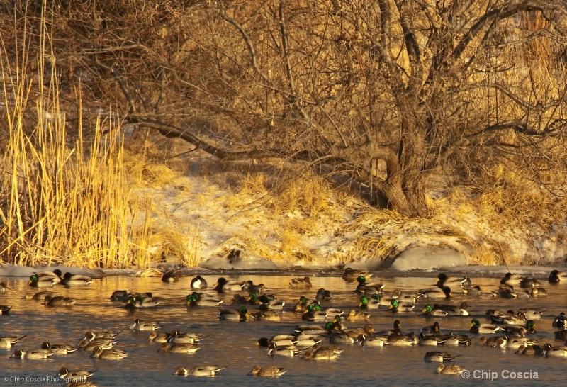 Ducks on Lake Tanglewood