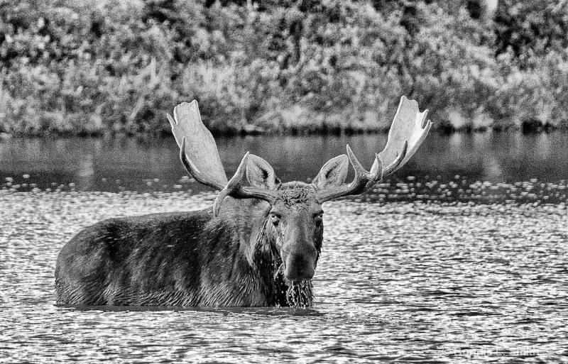 bull moose b w 1