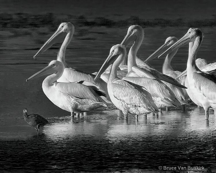 Pelicans and a black bird