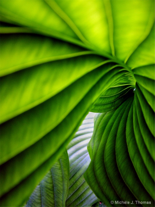 Hosta With Different Degrees of Shade !