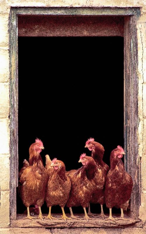 Hens in a Barn Window
