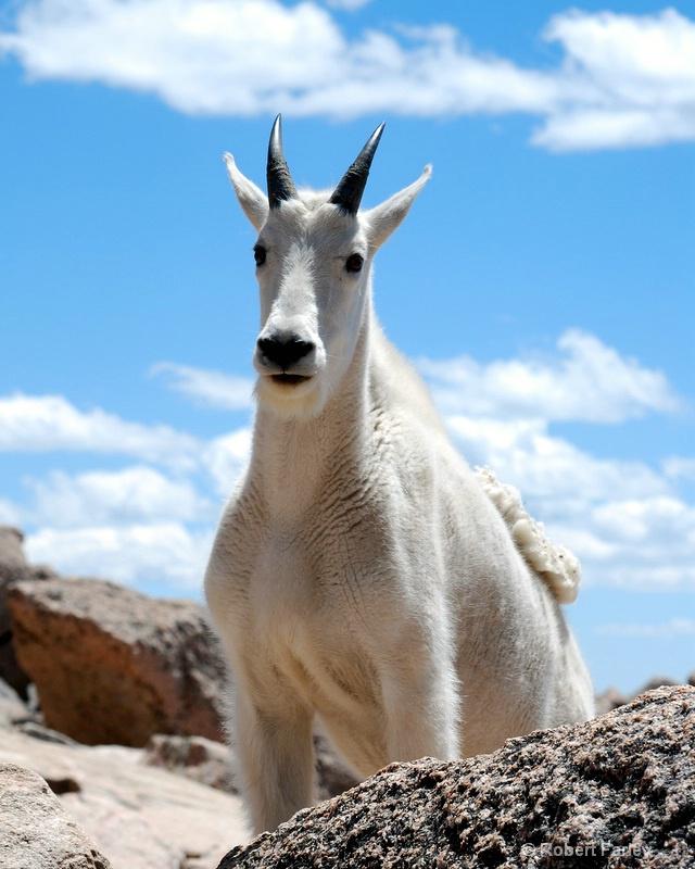 Approaching Goat