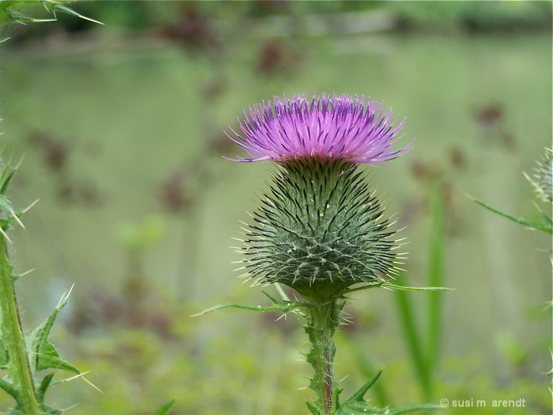Simple Thistle