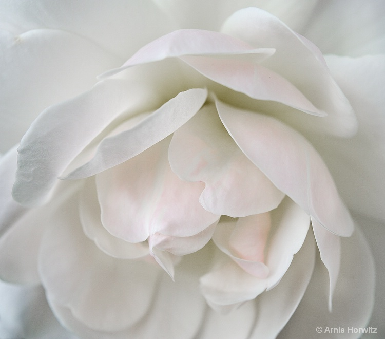 White with a Touch of Pink - III