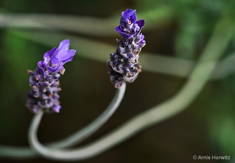 Purple Pair - IV