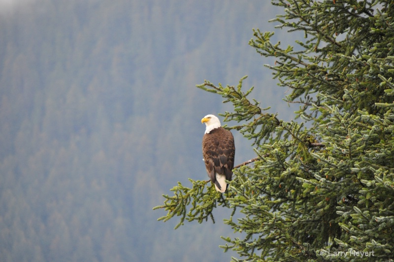 Bald Eagle at Mendenhall Crater- Juneau, AK
