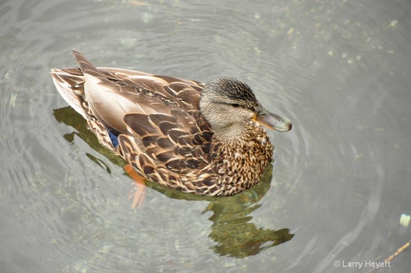 Duck at Mendenhall Crater- Juneau, AK