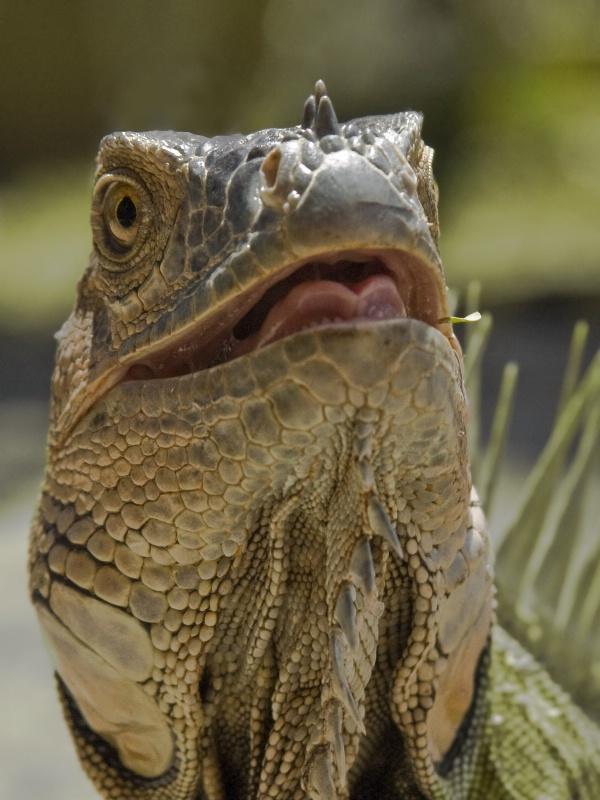Iguana Face Off