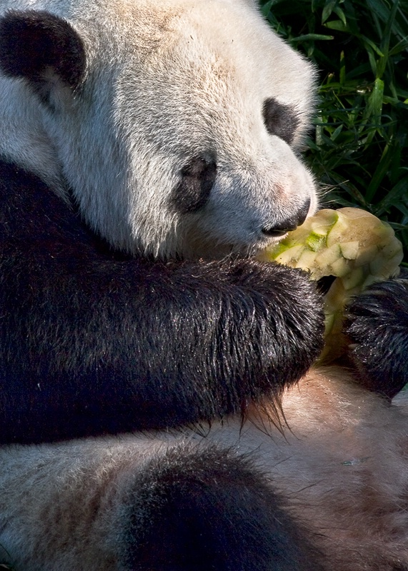 Panda with Popsicle
