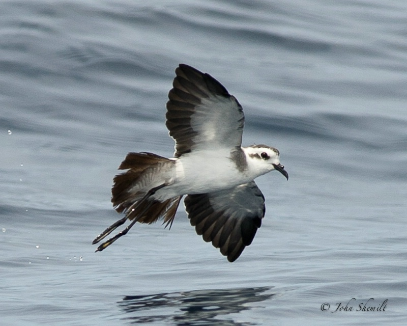 White-faced Storm-petrel - Aug 19th, 2011