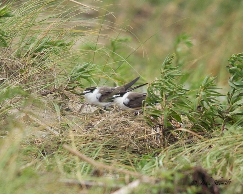 Bridled Terns - Aug 28th, 2011