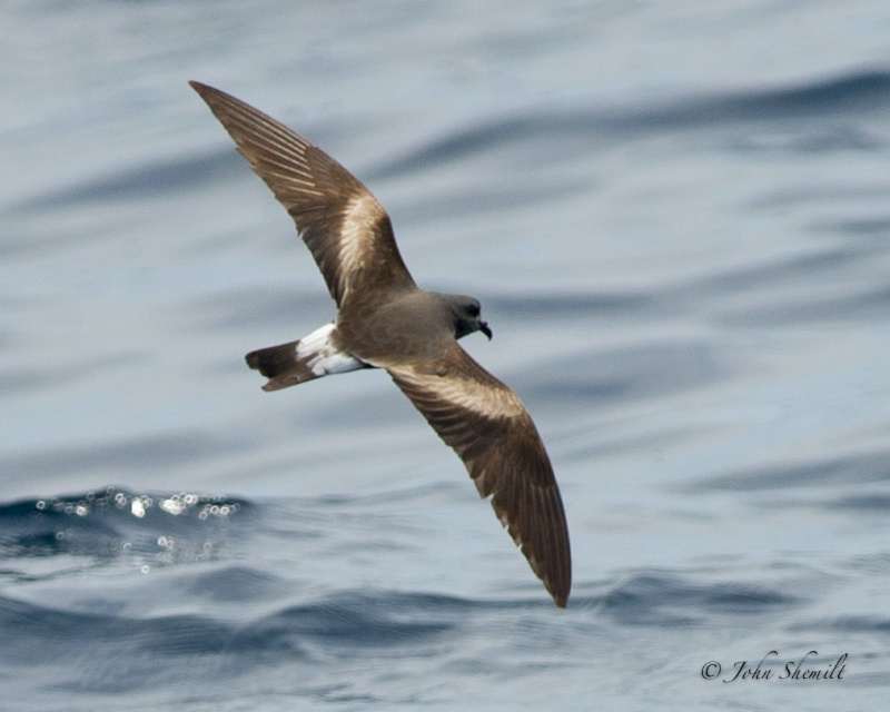 Leach's Storm-petrel - Aug 6th, 2011