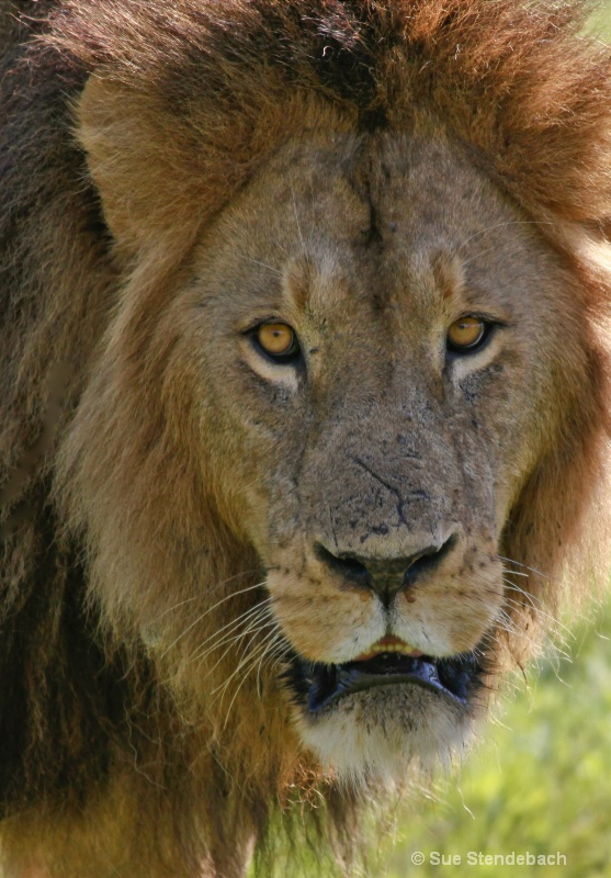 Lion Returning the Gaze, Ngorongoro, Tanzania