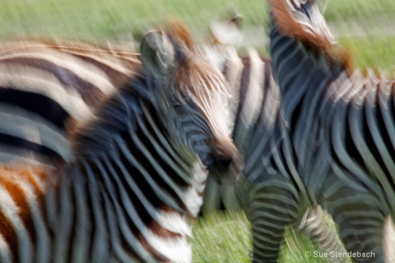 Stripes in Motion, Ngorongoro, Tanzania