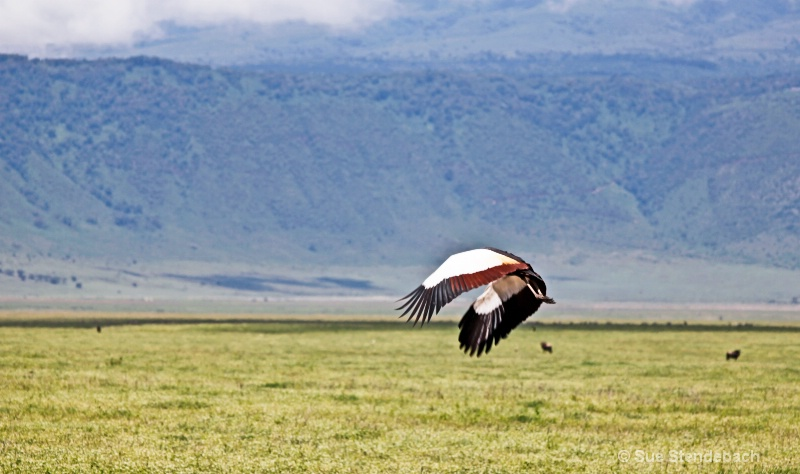 Grey-Crowned Crane in Flight, Ngorongoro Crater