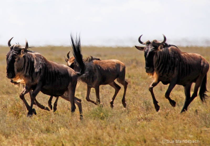 Great Wildebeest Migration III, Serengeti, Tanzani