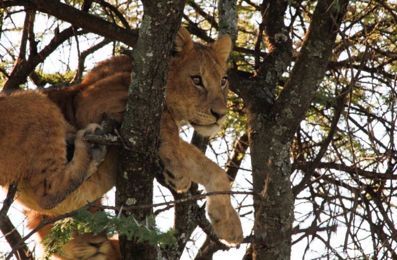 Cubs Keeping Watch, Serengeti, Tanzania