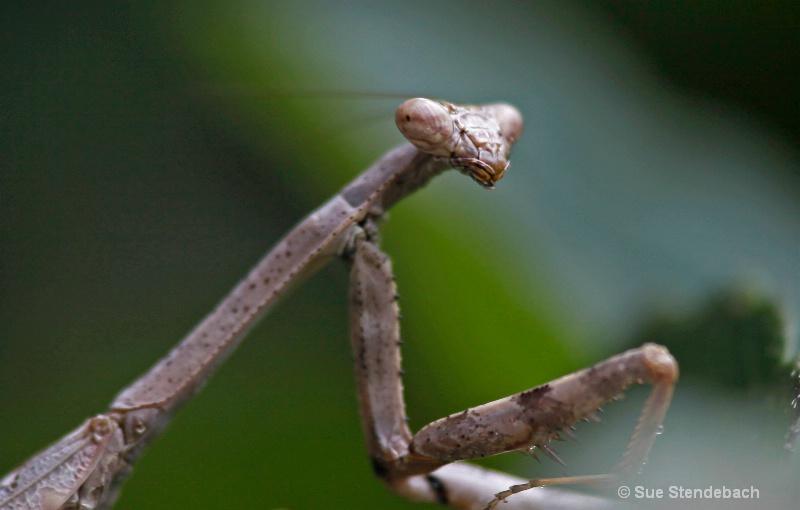 Portrait of a Walking Stick
