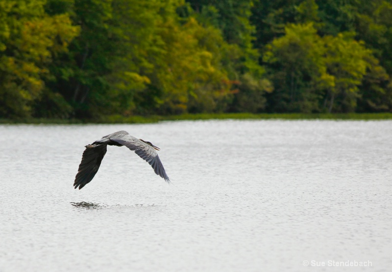 Great Blue Heron Skimming, Fairfax, VA