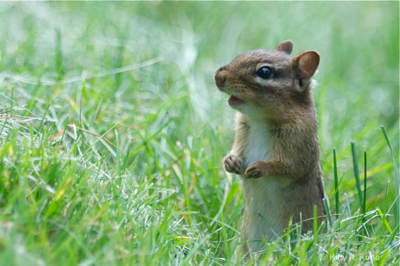 Chipmunk in the Backyard