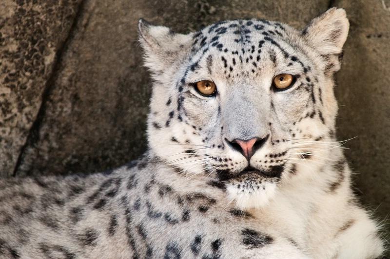 Memphis Snow Leopard Close-Up