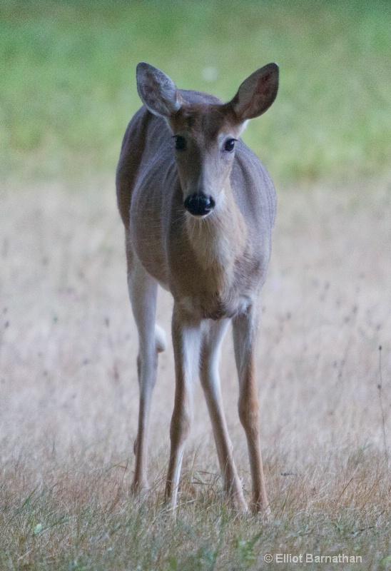 White Tailed Deer 2