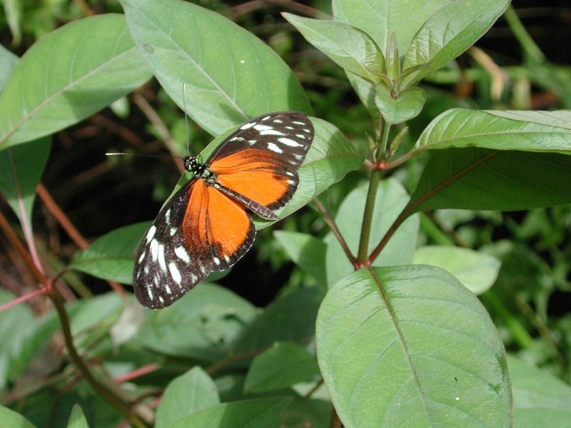 belize butterfly orange