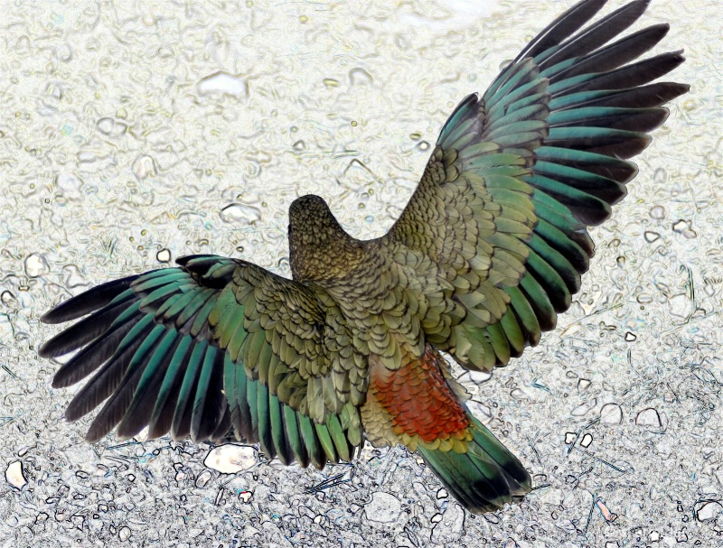 Kea showing the colours.Birds eye view. NZ parrot