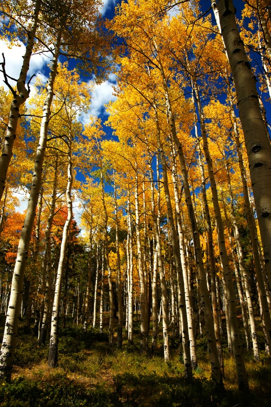 Walking Thru the Aspen Grove