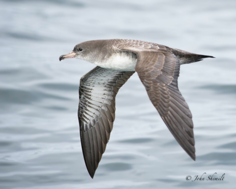 Pink-footed Shearwater - Oct 1st, 2011
