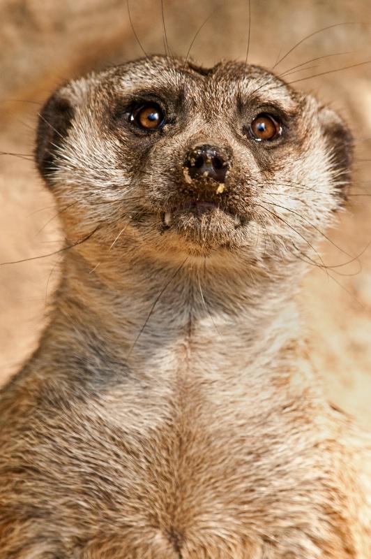 Memphis Meerkat